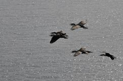Cormorants in flight Royalty Free Stock Images