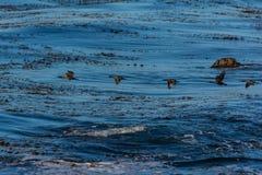 Cormorants in flight. Along the coast of Monterey, California Stock Photos