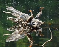 Cormorants on Floating Log Royalty Free Stock Images