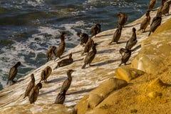 Cormorants. A flock of cormorants on a rocky cliff in La Jolla, California royalty free stock photos