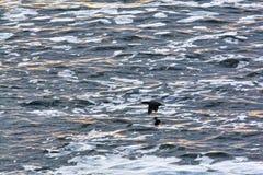 Cormorants flying over ocean Stock Photography