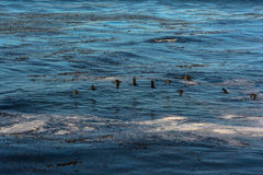 Cormorants flying over the ocean, California Stock Photo