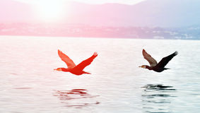 Cormorants flying over the water Stock Photography