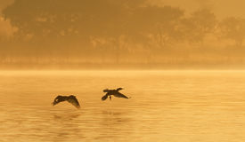 Cormorants on Foggy Pond Royalty Free Stock Photos