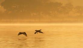 Cormorants on Foggy Pond. A pair of cormorants flying over a pond in the early morning fog.  Shot at San Jacinto Monument Park, near Houston, Texas Royalty Free Stock Photos