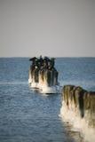 Cormorants on frozen breakwater Royalty Free Stock Images