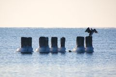 Cormorants on frozen pylons Stock Images