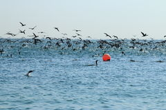 Cormorants. A giant flock of cormorants prey on schools of fish. Water area of the Persian Gulf. Umm al Quwain. United Arab Emirates royalty free stock image