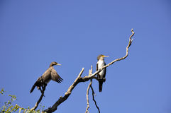 Cormorants. The great cormorant (Phalacrocorax carbo), in rezervation, Constanta, Romania Stock Image