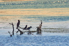 Cormorants in sunset light - Danube Delta, landmark attraction in Romania. Summer seascape Royalty Free Stock Image