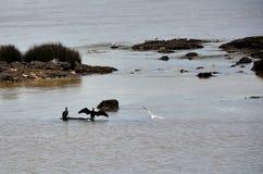 Cormorants and gulls Royalty Free Stock Image
