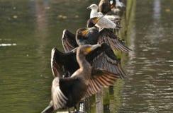 Cormorants Hyde Park Serpentine Stock Image