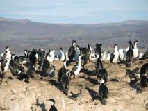 Cormorants Imperial Shags Royalty Free Stock Photography