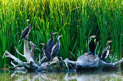 Free Cormorants In The Danube Delta Royalty Free Stock Photo - 21054825