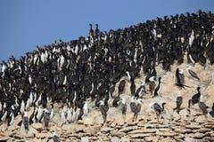 Cormorants Islas Ballestas Royalty Free Stock Photo