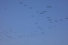 Cormorants Islas Ballestas Stock Photos