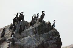 Cormorants Islas Ballestas Stock Photo