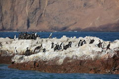 Cormorants Islas Ballestas. Cormorant coloney islas ballestas peru Stock Photography