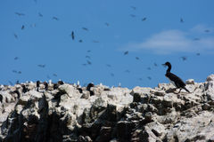 Cormorants in Islas Ballestas, Peru Stock Image