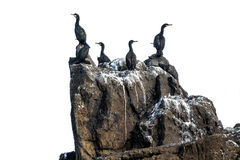 Cormorants isolated Royalty Free Stock Images