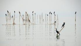 Cormorants, Lake Garda Stock Photo