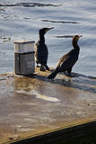 Cormorants Looking Seawards Royalty Free Stock Photo