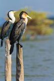 Cormorants, Naivasha Lake Stock Photo