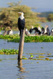 Cormorants, Naivasha Lake Royalty Free Stock Photography