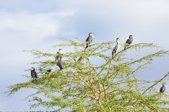 Cormorants, Naivasha Lake Stock Image