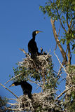 Cormorants at nest in Danube Delta Royalty Free Stock Image