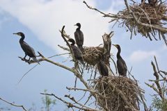Cormorants and nests on a tree Stock Photos