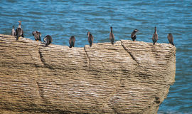 Cormorants on the Pancake Rocks Stock Images