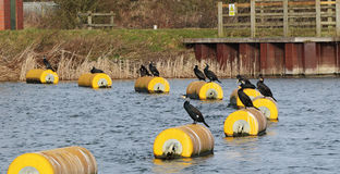Cormorants Perched on a Buoy Stock Photos