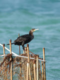 Cormorants perched on the fishing net Royalty Free Stock Images