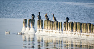 Cormorants perched by ocean Royalty Free Stock Photos