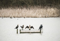 Cormorants phalacrocoracidae resting on calm lake in Spring Royalty Free Stock Image