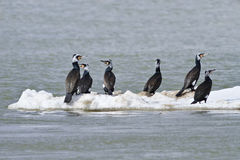 Cormorants (phalacrocorax carbo ) Stock Image