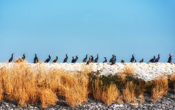 Cormorants Stock Photography