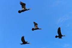 Cormorants (phalacrocorax carbo) Stock Photo