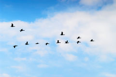 Cormorants Phalacrocorax carbo group silhouette flying high up in a V formation against the cloudy sky. Bird migration concept. Pomerania, northern Poland Royalty Free Stock Photography
