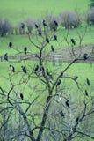 Cormorants (Phalacrocorax carbo) roosting in tree on farmland Royalty Free Stock Image