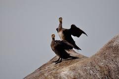 Cormorants Stock Photos