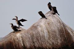 Cormorants Stock Image