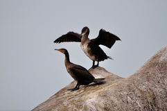 Cormorants Royalty Free Stock Photos