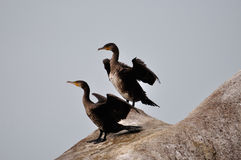 Cormorants Royalty Free Stock Photography