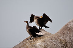 Cormorants Royalty Free Stock Image