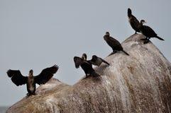 Cormorants Royalty Free Stock Photo