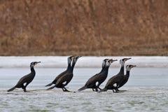 Cormorants (phalacrocorax carbo) Stock Photos