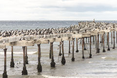 Cormorants in Punta Arenas. Punta Arenas is a commune and the capital city of Chile's southernmost region, Magallanes and Antartica Chilena. The city was Stock Photos