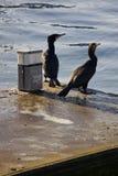 Cormorants que olham Seawards Foto de Stock Royalty Free